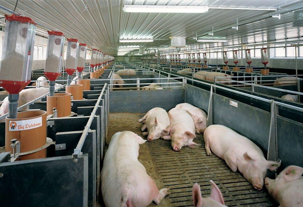 Вентиляция в животноводческом комплексе не должна вызывать сквозняк